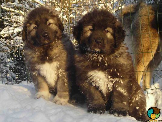 Caucasian Shepherd Dogs in Great Britain