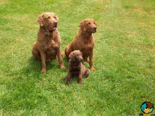 Chesapeake Bay Retriever in the UK
