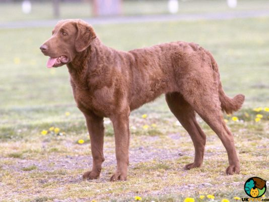 Chesapeake Bay Retrievers in the UK