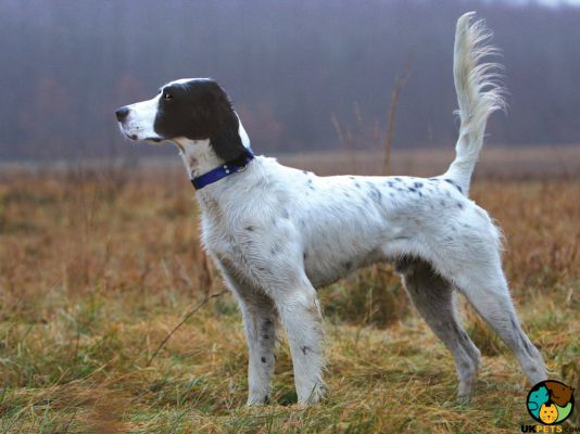 English Setters in the UK