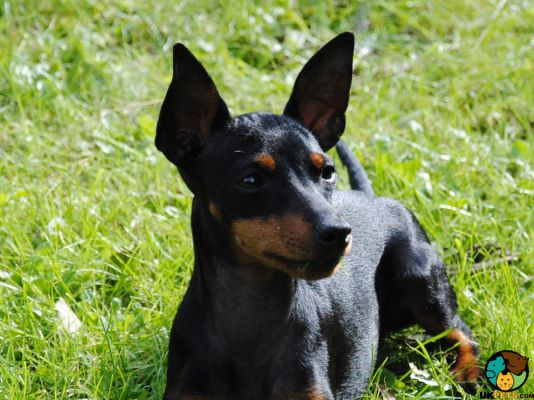 English Toy Terrier in the UK