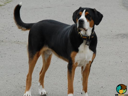 Entlebucher Mountain Dogs in the UK