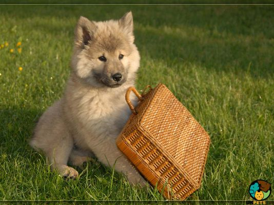 Eurasier Dogs