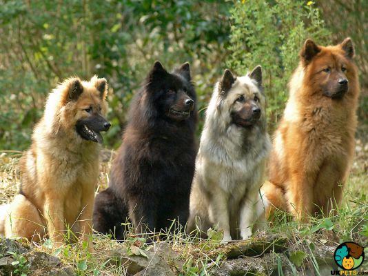 Eurasier in the UK