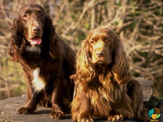 Field Spaniel in the UK