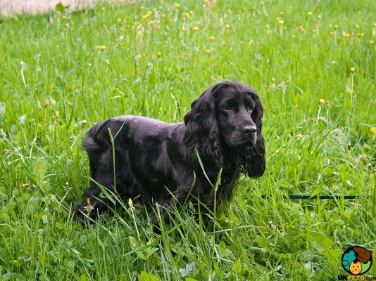 Field Spaniel in Great Britain