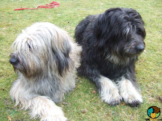 Catalan Sheepdogs in Great Britain