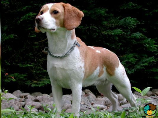 Adult beagle standing up