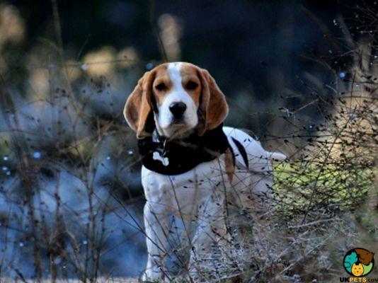 Beagle in a field