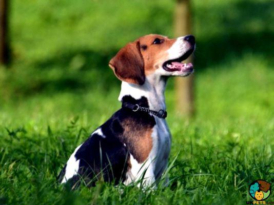Beagle sitting on the grass