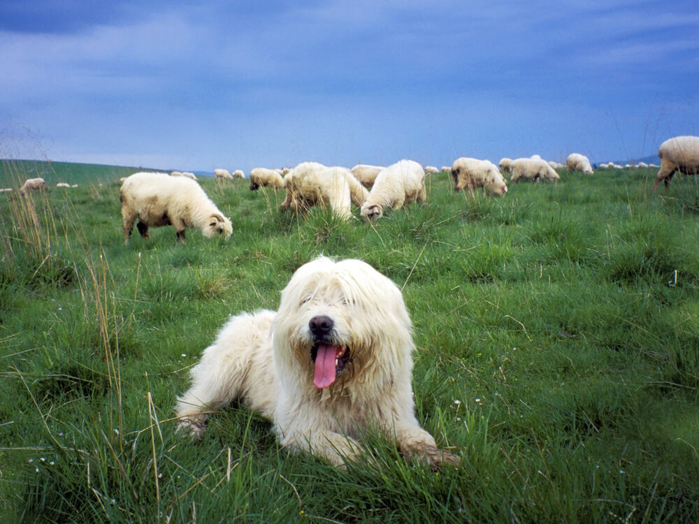 a-pastoral-dog-sitting-in-a-grass-field-with-some-group-of-sheep