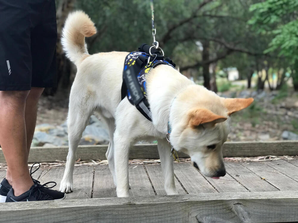 a-utility-dog-breed-walking-together-with-its-owner