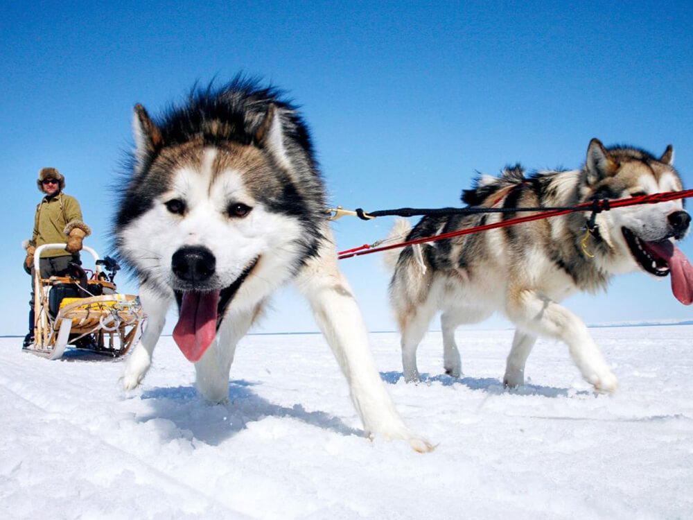 a-man-with-a-working-breed-sled-dogs-in-a-snowy-land